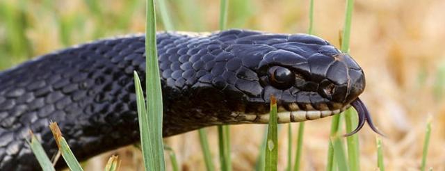 snakeheader